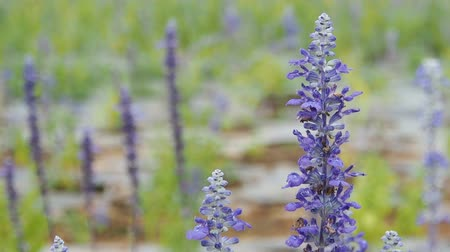 pratensis : Closeup of blue salvia flower in garden field.