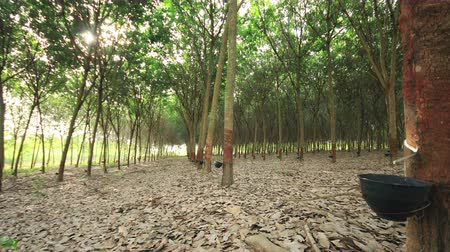 plantio : Milky latex extracted from natural rubber tree,Time lapse dolly slide