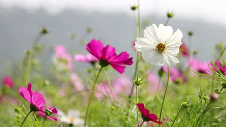 flower : Purple and white cosmos flower field in breeze.