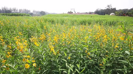 конопля : Green and yellow Sunn hemp field in breeze,Crotalaria juncea