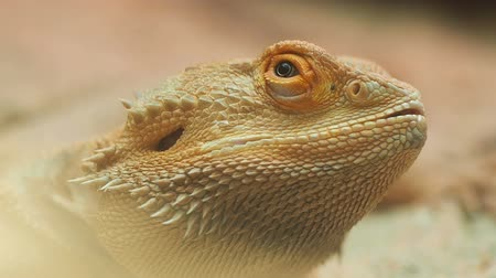 sürüngen : Bearded Dragon, Close up. Stok Video