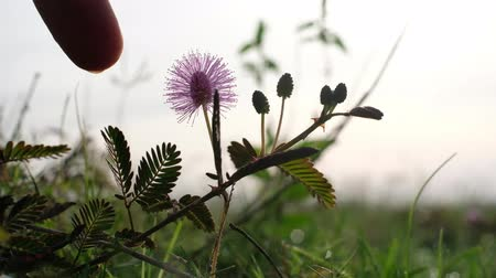оборонительный : Mimosa pudica Linn known as sensitive plant, sleepy plant, Dormilones, touch-me-not or shy plant. Man touching its leaves