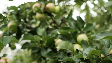 cidra : Close up of apples in a tree on summer time. Excellent crop of fruits