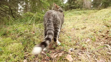 szervezett : Pretty thin cat is walking on the green grass at the forest. Stock mozgókép