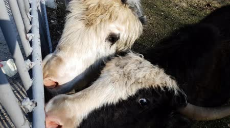 bika : Hands are fed with cabbage of two yaks in yard of Teberda reserve. Close-up