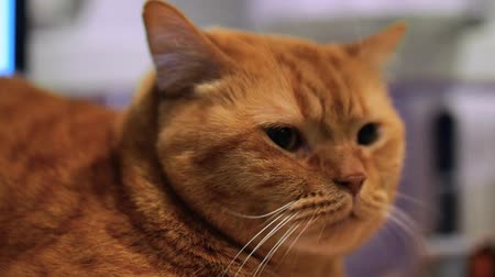 Red British cat is lying on table with displeased look on the blurred background. 4 footages in 1! Stock Footage