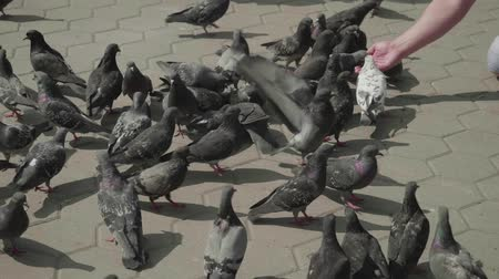 holubice : Flock of pigeons near hand feeding them. Dostupné videozáznamy