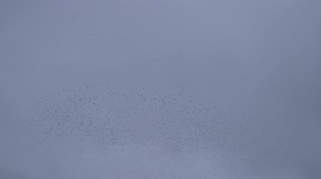 migração : Flock of birds disappears in the gray autumn sky