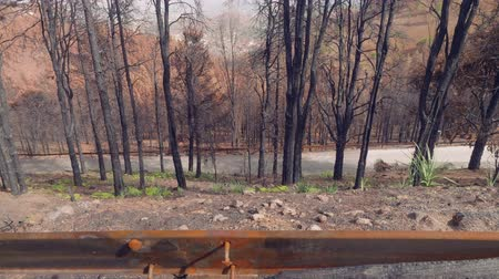 aftermath : Forest of canary pines after conflagration