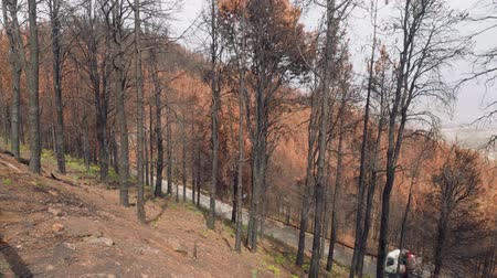 aftermath : Forest of canary pines after conflagration in mountains Stock Footage