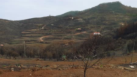 aftermath : view of canary pines after onflagration in mountains of canaries