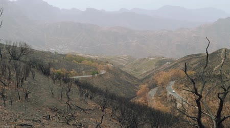 aftermath : Black canary pines arfter conflagration in mountains of Canaries
