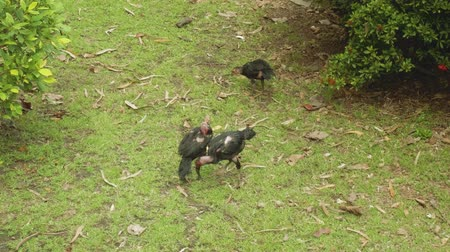 cock fights : Cocks fighting in Pattaya city public park