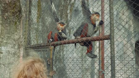 duruş : Two monkeys with white beard sit on fence in zoo and eat corn