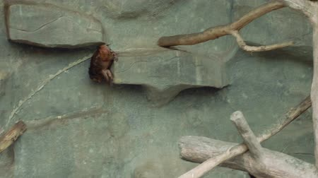 duruş : Bear macaque walking on trees in zoo in Thailand Stok Video