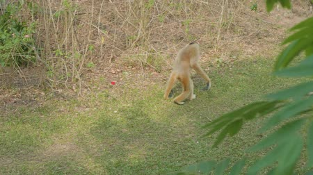 duruş : Pileated gibbon walks on green grass in zoo