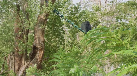 duruş : Back view of siamang sitting on ledder between trees