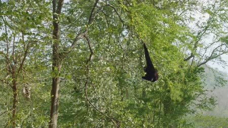duruş : Siamang climbing tree in zoo