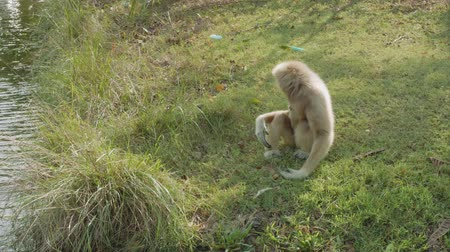 duruş : View lonely pileated gibbon in zoo