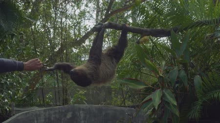 captive : Sloths hanging on tree branch Stock Footage
