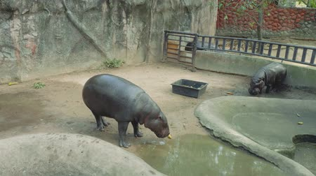hippo : View of black hippopotamus in pool in zoo