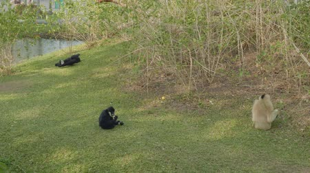 duruş : Two siamangs and pileated gibbon eat and relax on green grass in zoo