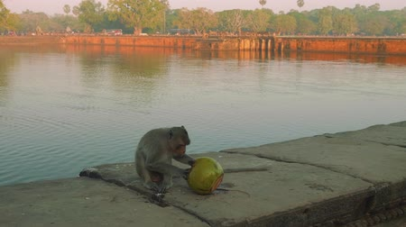 к юго западу : Monkey is eating coconut near reservoir near Agkor Wat temple