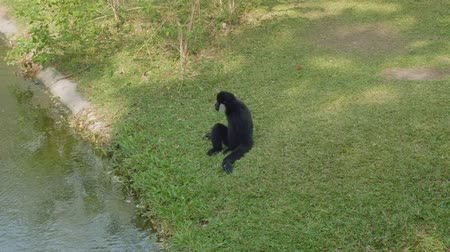 duruş : Siamang sits on green grass near river Stok Video