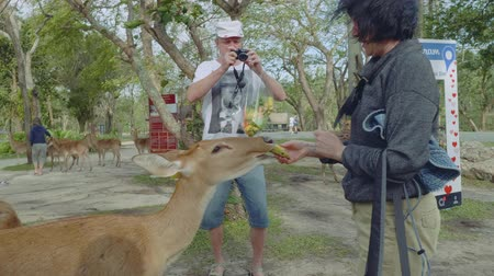 gregarious animal : White tourists watch and feed deer in Khao Kheow Open Zoo Stock Footage