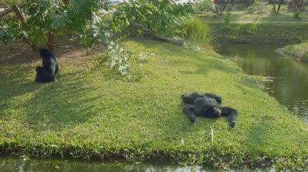 duruş : Couple of siamangs on island near reservoir in zoo