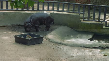 chlupatý : View of black hippopotamus in pool in zoo
