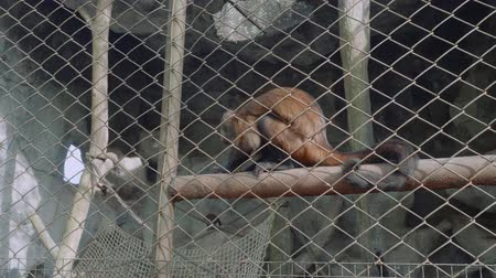 gregarious animal : View of capuchin monkey in Khao Kheow Open Zoo