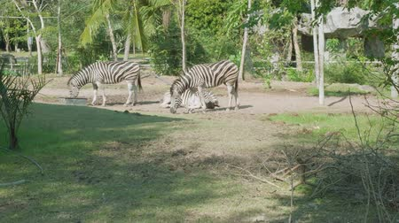 gregarious animal : Zebras walking and eating grass on territoty of Khao Kheow Open Zoo