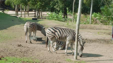 captive : Zebras walking and eating grass on territoty of Khao Kheow Open Zoo