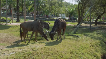gregarious animal : Gnus walking and eating on territory of Khao Kheow Open Zoo