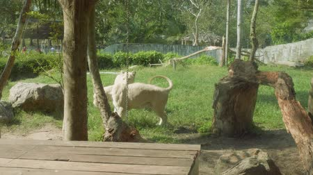 gregarious animal : Lions behind glass of crate in Khao Kheow Open Zoo Stock Footage