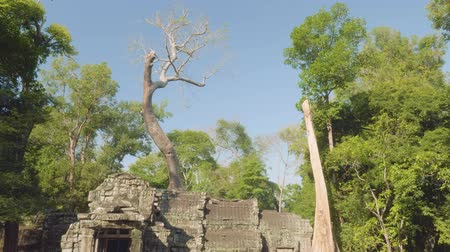 Ангкор : Huge old tree growing through ancient temple