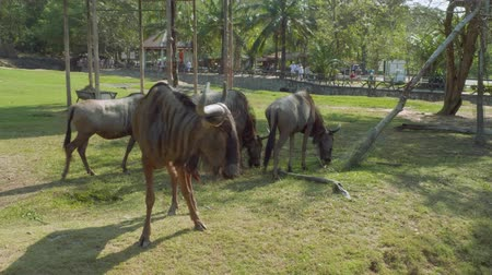 captive : Gnus walking and eating on territory of Khao Kheow Open Zoo