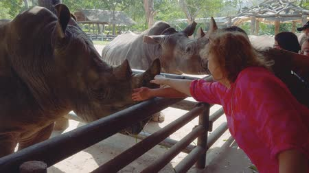 white rhino : CHONBURI, THAILAND - CIRCA JANUARY 2018: Caucasian female tourists feed rhino in paddock