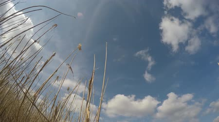 uzun : High reed against sky in wind day. Time lapse.