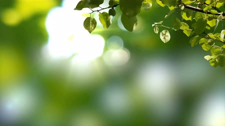 Sunny background with Natural branch with green leaves on the foliage with sunlights.