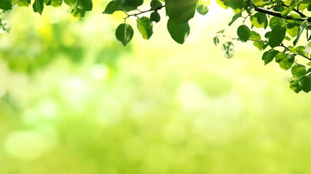 зелень : Sunny background with Natural branch with green leaves on the foliage with sunlights.