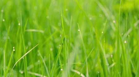 gota de orvalho : Green grass background with water drops. Stock Footage