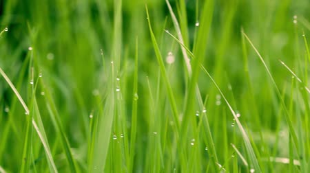 morning : Green grass background with water drops. Stock Footage