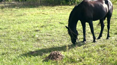 poník : Chained horse grazing in a summer field