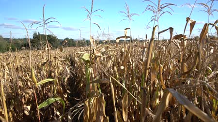 botanik : Walking through a field of dry maize plants Stok Video