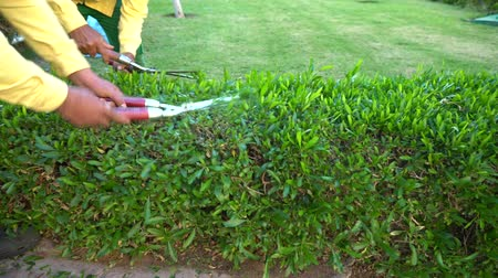 boxwood : Two gardeners trimming a hedge in a formal garden