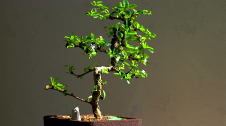 珍味 : Bonsai tree with small white blossoms