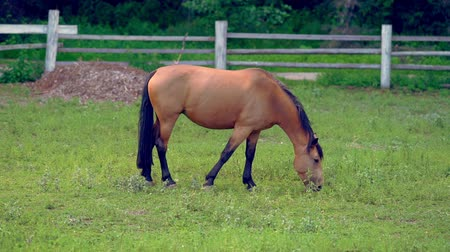herélt ló : Chestnut brown horse grazing in a paddock