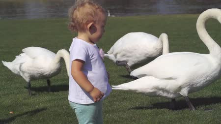bird learning : Cute little girl walking with a flock of swans Stock Footage